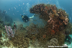 diver & glassfish around a coral bommie - Komodo, Indonesia (Christian Loader) Tags: school fish coral indonesia underwater scuba diver reef sponge komodo coralreef glassfish underwaterphotography scubadiver komodonationalpark scubazoo christianloader scubazooimages