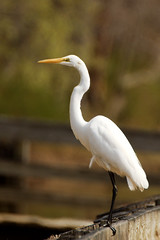Great Egret (Eric E Haas) Tags: usa belair birds unitedstates maryland hero herons greategrets ardeaalba sigma170500mm