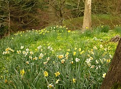 Yellow Spring Carpet (Dave Roberts3) Tags: park flowers trees yellow wales landscape spring newport daffodil gwent celandine beechwood