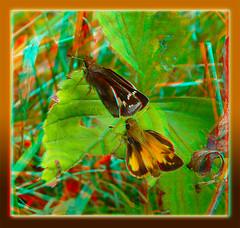 Poanes Zabulon, Zabulon Skipper Butterflies 2 - Anaglyph 3D (DarkOnus) Tags: macro closeup butterfly insect lumix stereogram 3d pennsylvania skipper butterflies anaglyph panasonic stereo stereography buckscounty poanes zabulon dmcfz35 darkonus