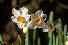 Wer hat von meinen Bltenblttern genascht? Wei-gelbe Narzissen - Who has been eating from my petals? White daffodils with orange crown and some feeding scars (riesebusch) Tags: berlin garten marzahn