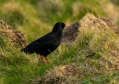 chough (pamelapiggott) Tags: wales south north stack chough anglesey hollyhead