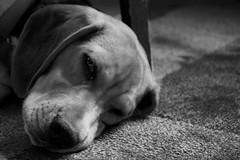 Buddy Beagle Boy (johnruscombe1965) Tags: dog ny newyork beagle unitedstatesofamerica buddy buddyngton lordbuddyngton