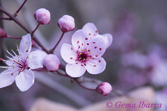 Close-up almond blossoms (GemaIbarra1) Tags: pink summer white plant flower macro tree green nature floral beautiful beauty up closeup garden season spring flora branch close natural blossom gardening background decoration almond fresh petal single bloom agriculture isolated blooming
