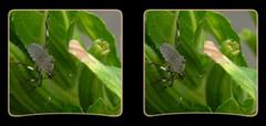 Halyomorpha Halys, Brown Marmorated Stink Bug Nymph 5 - Crosseye 3D (DarkOnus) Tags: brown macro closeup bug insect lumix stereogram 3d crosseye pennsylvania panasonic stereo nymph stereography buckscounty stink crossview halys halyomorpha marmorated dmcfz35 darkonus