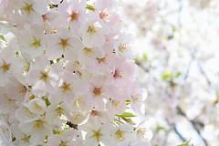 izuyoshino_dsc_3117 (takao-bw) Tags: plant flower japan spring  sakura cherryblossoms