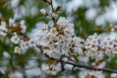 Blossom Bokeh.. (johngregory250666) Tags: park camera new uk england tree green yellow lens outside outdoors spring nikon dof bokeh south yorkshire nikkor springtime rothervalley imagesofengland