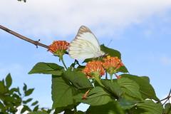 007-002 borboleta - os insetos so animais invertebrados o grupo com a maior diversidade entre todos os animais do planeta, so cerca de 950 mil espcie no mundo. conhecido e catalogado, das quais mais de 109 mil so encontradas no Brasil. (agnaldo.severo) Tags: flores verde azul cu borboleta nuvem flhas