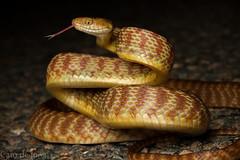 A lucky break, unappreciated (Cameron de Jong) Tags: road brown tree snake australia explore venomous colubrid colubridae boiga irregularis