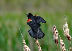 The dance (jcdriftwood) Tags: dance bokeh feathers depthoffield cattails redwingedblackbird typha