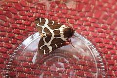 IMG_0003 (J_turner6) Tags: garden tiger moth caja breeding captive rearing arctia