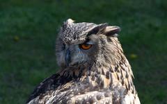 Hooty McOwlFace (Gareth UK) Tags: bird wales nikon owl april 2016 d3100