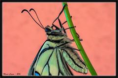 Papilio Machaon - Dettaglio (mauro.cagna) Tags: primavera nikon dettagli nikkor papilio farfalle gerani machaon