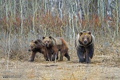 610 and her Cubs (Henry T. Cadwalader) Tags: bear wild nature animal nationalpark nikon day earth wildlife bears grizzly jacksonhole wy natureconservancy wildlifephotography jacksonwy