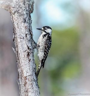 Red-Cockaded Woodpecker (Leuconotopicus borealis) Female (EXPLORE April 27, 2016) - St. Sebastian River Preserve, Indian River County, Florida