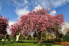 kersenbloesem (Don Pedro de Carrion de los Condes !) Tags: lente prunus nijkerk donpedro luchten voorjaar sakuranbo bloeien hoefslag d700 inbloei