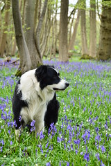 Collie (Leela Channer) Tags: wood blue england dog white black flower green nature leaves bluebells forest woodland landscape sussex spring collie scenery pretty purple indigo canine april eastsussex patches