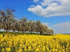 Still beautiful spring is here... (Tobi_2008) Tags: trees sky color nature clouds germany landscape deutschland spring saxony natur himmel wolken ciel sachsen tobi landschaft farbe bume allemagne raps germania frhling rapsfeld