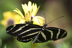 Butterfly 2016-18 (michaelramsdell1967) Tags: light wild black color detail macro nature beautiful beauty yellow closeup butterfly insect photography spring nikon focus natural bokeh pics cincinnati wing picture butterflies insects photograph zebra upclose nky