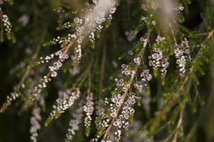 Thryptomene saxicola (louisa_catlover) Tags: pink flowers autumn plant art nature floral canon garden botanical eos flora dof artistic little native bokeh outdoor small australian australia melbourne victoria depthoffield tiny m42 april f2 shrub 58mm helios dandenongs dandenongranges kalorama myrtaceae 2016 australiannativeplant helios442 60d thryptomene karwarra karwarraaustralianplantgarden karwarrabotanicgarden
