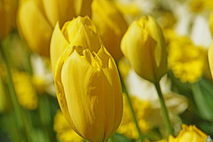 Flora awakening (Swaentje5) Tags: flowers holland macro netherlands yellow spring flora tulips bright nederland sunny bulbs cheerful lente geel helder daffodils bloemen bollen narcis tulipa narcissus tulpen bloem vrolijk narcissen lisse zonnig florakeukenhof