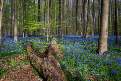 Blue Spring (dressk) Tags: wood blue tree forest carpet spring nikon europe purple belgium belgique april bluebell hallerbos belge boisdehalle nikond40x d40x