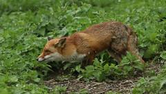 Snowdrops keep falling on my head. Red Fox. (Vulpes vulpes). (Sandra Standbridge.) Tags: animal hail mammal hunting fox snowdrops stingers wildandfree redfoxvulpesvulpes huntingforfood