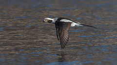 Long tailed duck (Phiddy1) Tags: ontario canada male duck flight fast longtailedduck