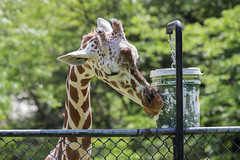 brookfield zoo. july 2015 (timp37) Tags: summer zoo illinois july brookfield giraffe 2015