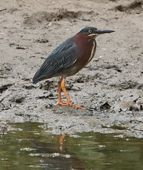 green heron (jimbobphoto) Tags: bird heron creek river mud monongahela duckhollow monriver