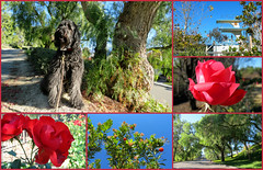 HAPPY NEW YEAR! from Benni and Me (Bennilover, off for a week, Wild Things coming!) Tags: flowers trees roses dogs diving trail mission labradoodle viejo benni happynewyear strawberrytree nadadores peppertrees greglouganis highdiving 10meterplatform 10mplatform
