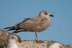 Thayer's Gull (fredhochstaedter) Tags: bird gull ptpinos thayersgull