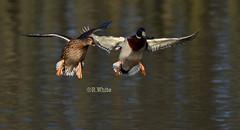 Mallards landing (ftm599) Tags: wild lake nature birds flying nikon wildlife ducks landing mallards bif maleandfemale lowbarns