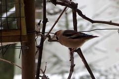 Kukucs! / Peekaboo! (debreczeniemoke) Tags: winter portrait snow bird garden kert fringillidae h tl portr hawfinch grosbeccassenoyaux coccothraustescoccothraustes madr frosone meggyvg kernbeiser botgros pintyflk olympusem5