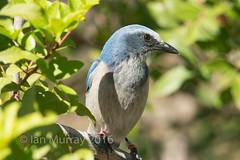 IMG_5195 Endangered Cape Coral Scrub Jay (Wallace River) Tags: florida endangered scrubjay capecoral