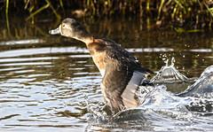 Vertical Takeoff (Team Hymas) Tags: water duck washington wildlife splash takeoff refuge ridgefield