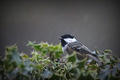 026.365.2016 (johnny the cow) Tags: bird rain wales photo wildlife diary cymru holly collection 365 catalogue ceredigion 2016 aphotoaday celyn coaltit 366 llanafan