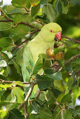 The rose-ringed parakeet, Psittacula krameri, female, Richmond Park, London (Radio Ga Ga Broadcasts Again) Tags: uk london female sony richmondpark a77 psittaculakrameri unitedkngdom theroseringedparakeet