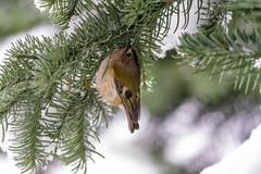 Just hanging around (davidrhall1234) Tags: bird nature birds nikon wildlife goldcrest birdsofbritain nikond7100