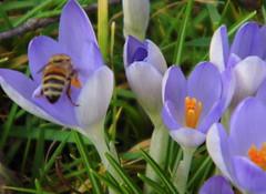 Krokusse mit Wildbiene (ute_hartmann) Tags: flowers blumen krokus biene insket