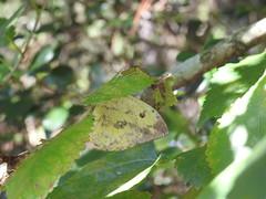 Mimetismo de borboleta (Frank Thomas Sautter) Tags: butterfly nikon p900 mimicry