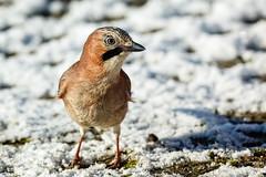 Eichelhher (Garrulus glandarius) (ulibrox) Tags: bird closeup tiere jay outdoor vgel nahaufnahme tier vogel garrulusglandarius rabenvogel eichelhher rabenvgel
