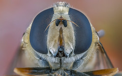 Dark Eyes (Kuvvet) Tags: black macro eye dark fly bee mpe65mm beemacro focusstacking flymacro canonmpe65mmf28 canoneos70d