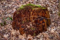 Mossy Tree Stump (elPolloDJablo) Tags: tree nature forest stump
