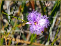 thysanotus multiflorus (Korverr) Tags: breathtaking breathtakinggoldaward breathtakinghalloffame