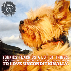 I never knew love like my Yorkie loves (itsayorkielife) Tags: yorkie quote yorkshireterrier yorkiememe