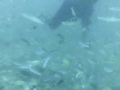 AGQ-20140422-0006 (AGQue) Tags: travel vacation fish fiji telephone cellphone snorkeling april fj coralreef oceania 2014 underwaterphotography wetseason fji westerndivision iphoneography appleiphone4s gmt1200fijiislandsstandardtimezone