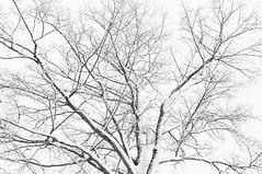 Snowy Foliage (Grant is a Grant) Tags: ca winter snow canada campus novascotia ns snowstorm january kitlens wolfville 1855 acadia acadiauniversity acadiau nikkor1855mm nikond90 vsco vscofilm