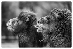 Two camels (Paul de Roode) Tags: zoo rotterdam blijdorp dierentuin dayprime2015