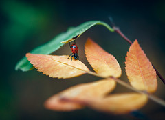 Almost there... (Gabriel Tompkins) Tags: autumn trees red orange usa plant blur macro green fall nature floral leaves animal yellow closeup america forest bug insect outside outdoors washington leaf woods flora nikon warm dof fallcolor bokeh outdoor hiking path gear hike fallfoliage foliage explore trail pacificnorthwest ladybug 60mm nikkor dslr washingtonstate footpath pnw pathway libertylake autumncolor coccinellidae 2015 micronikkor d90 explored nikond90 60mmf28gmicro 60mmf28g tronam gabrieltompkins tronamcom libertylakeregionalpark